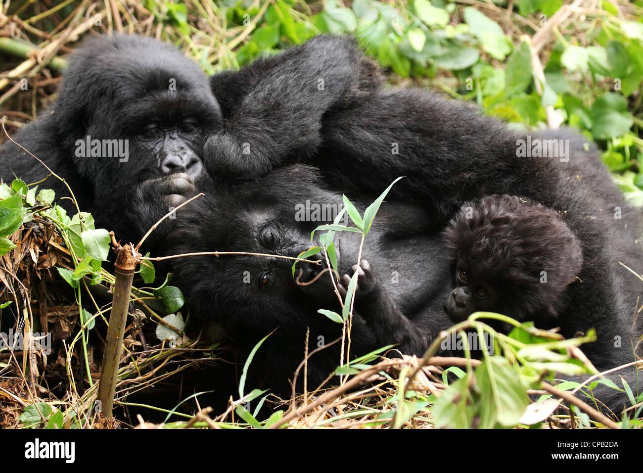 Mountain gorillas (Gorilla beringei beringei) grooming in the Volcanoes National Park, Rwanda. - Stock Image
