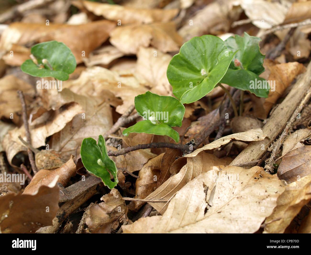 seedlings from beech trees / Fagus / Setzlinge von Buchen - Stock Image