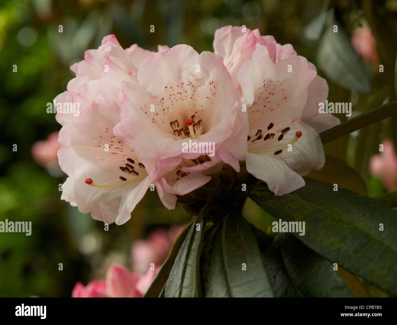 Rhododendron arboreum x campanulatum, one group of flowers in bloom - Stock Image