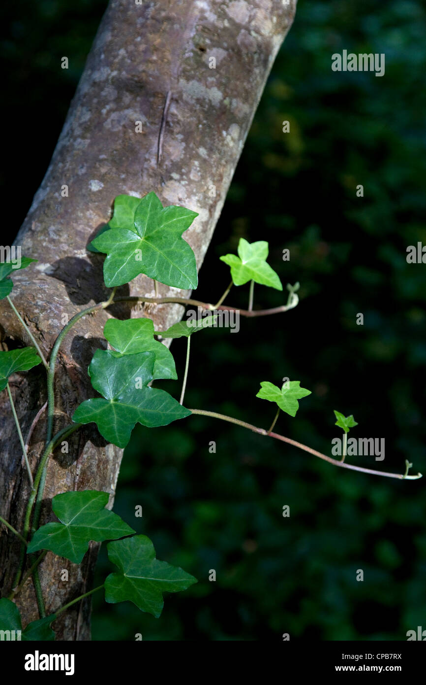 Ivy on tree trunk in sunlight - Stock Image