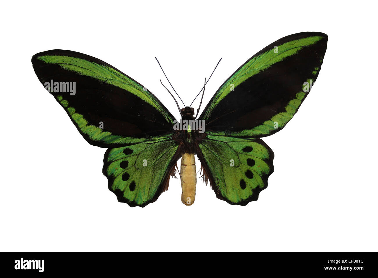 Richmond Birdwing Ornithoptera richmondia - Stock Image
