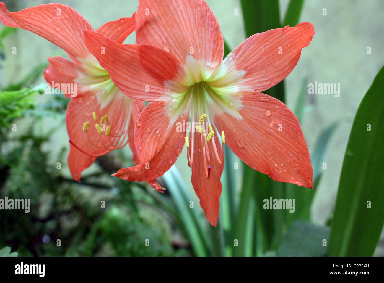 Lilly flower lilies - Stock Image
