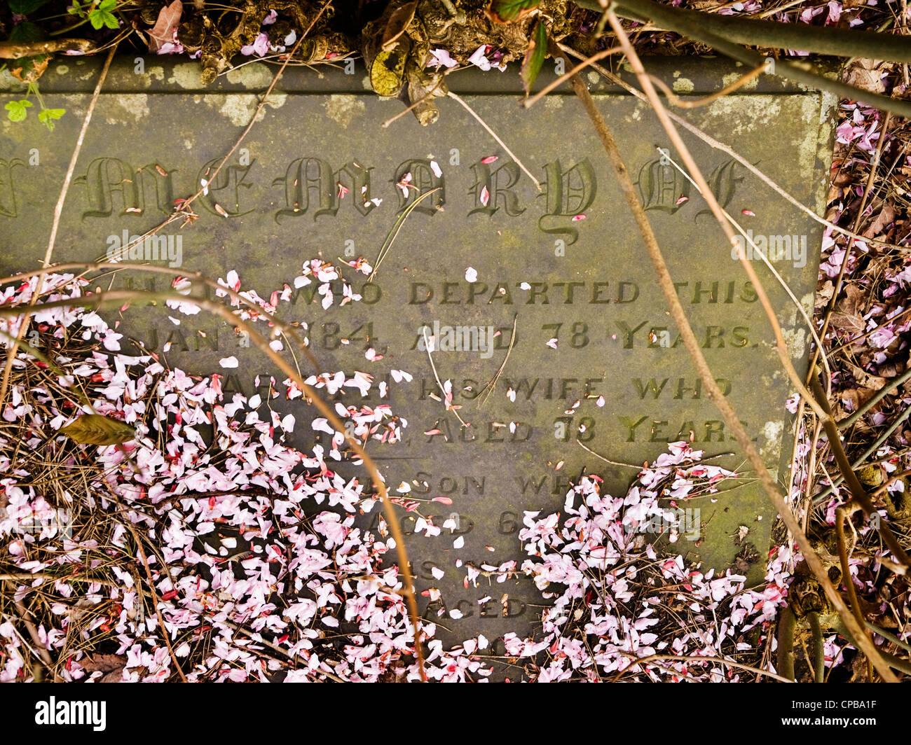 Cherry blossom in the Churchyard, Castleton, Derbyshire,  Peak District National Park - Stock Image