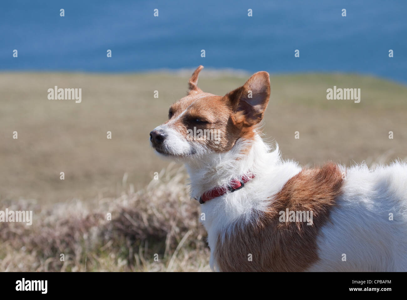 A cute Jack Russell Terrier with his ears blowing in the wind near the sea - Stock Image