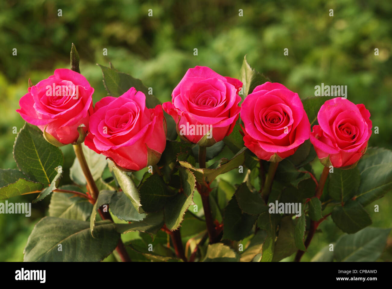 five scarlet beauty roses against green background - Stock Image