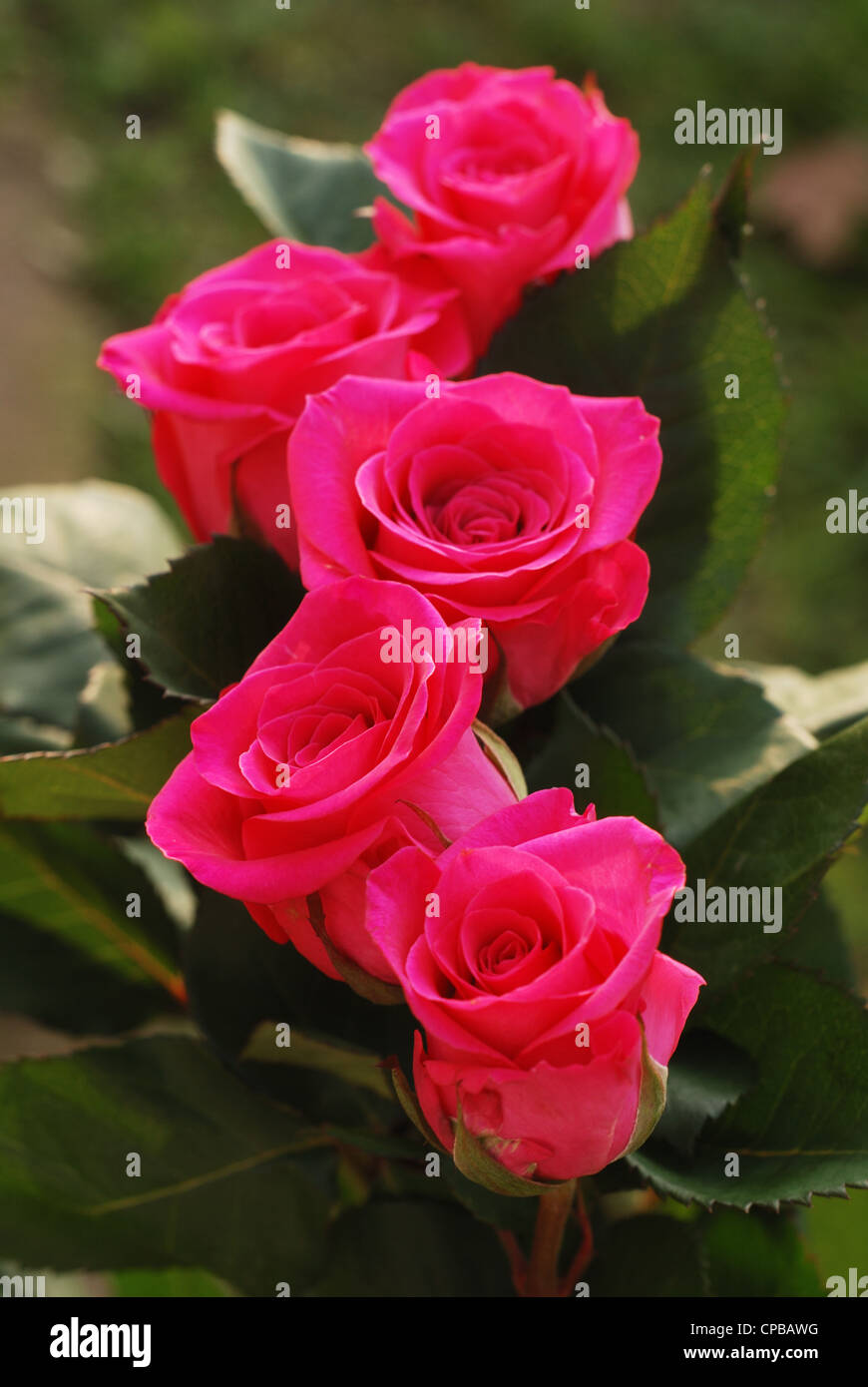 five scarlet beauty roses against green background Stock Photo
