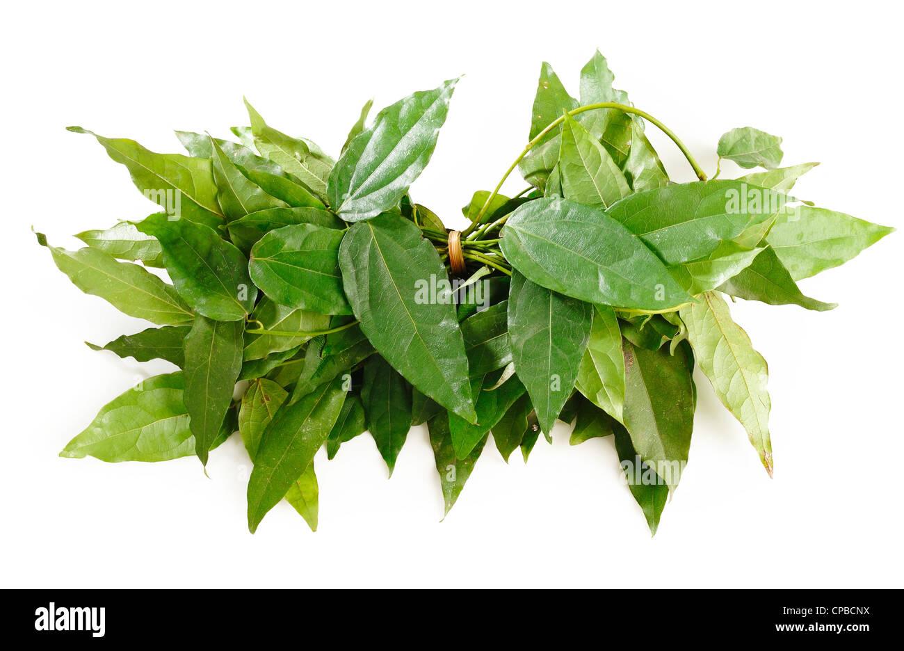 Bai-ya-nang,herb on white - Stock Image