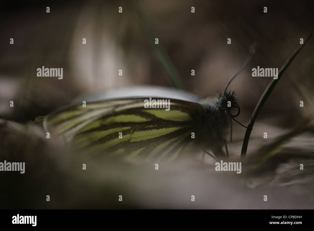 Green-veined White (Pieris napi) resting low in the vegetation in the early spring - Stock Image