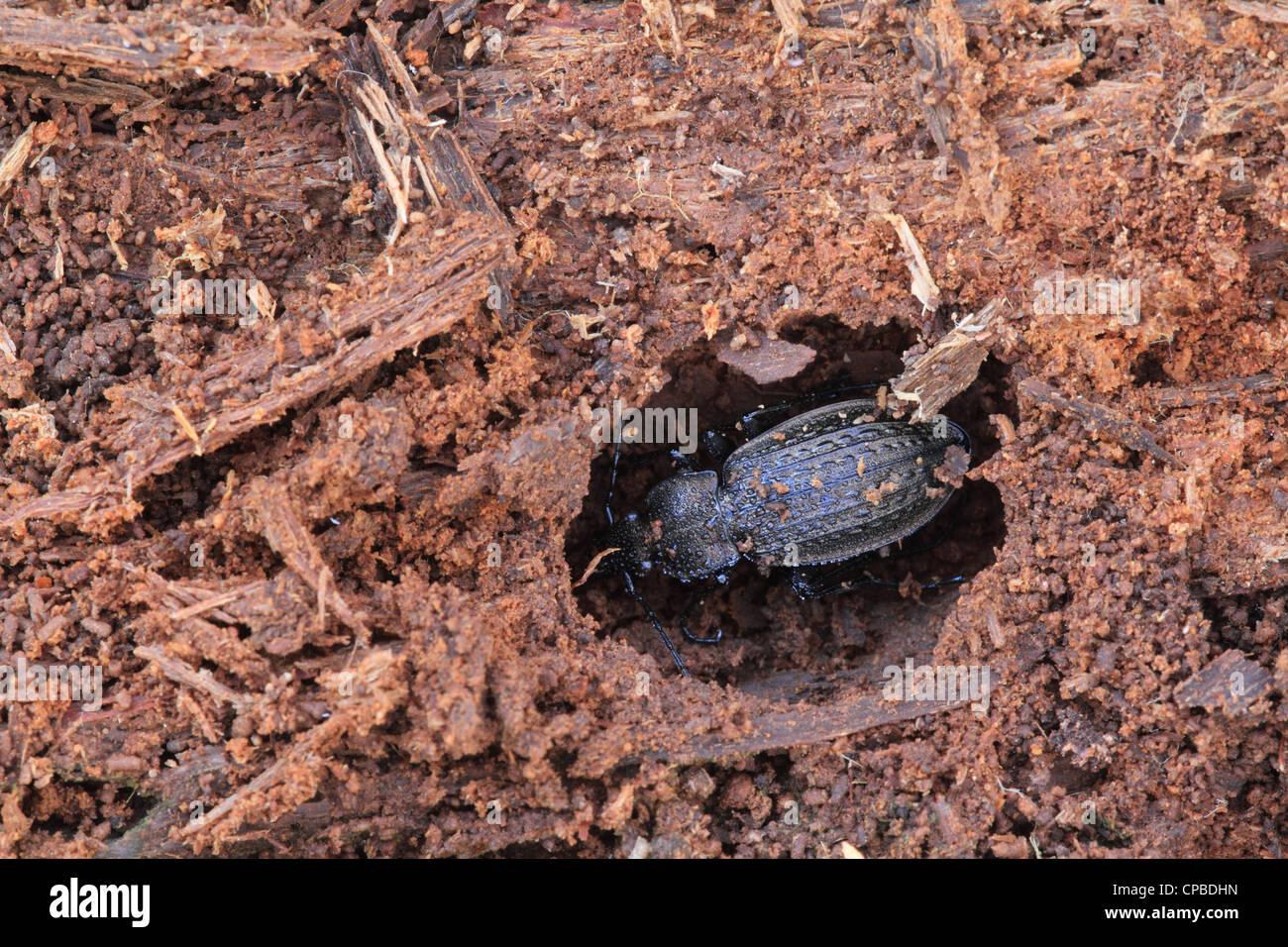 Carabus granulatus - a ground beetle species hibernating. - Stock Image