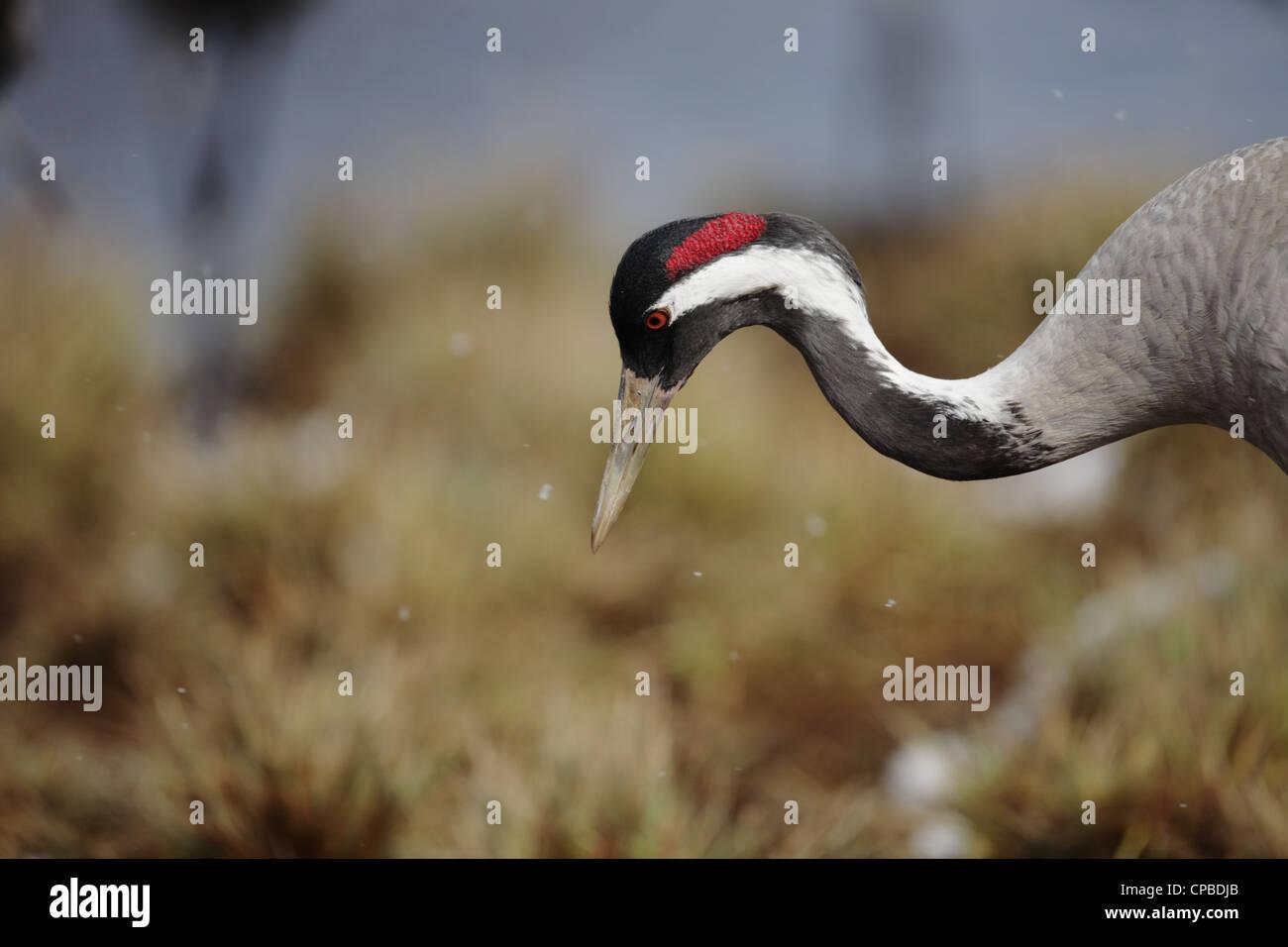 Common Crane (Grus grus) and snow Stock Photo