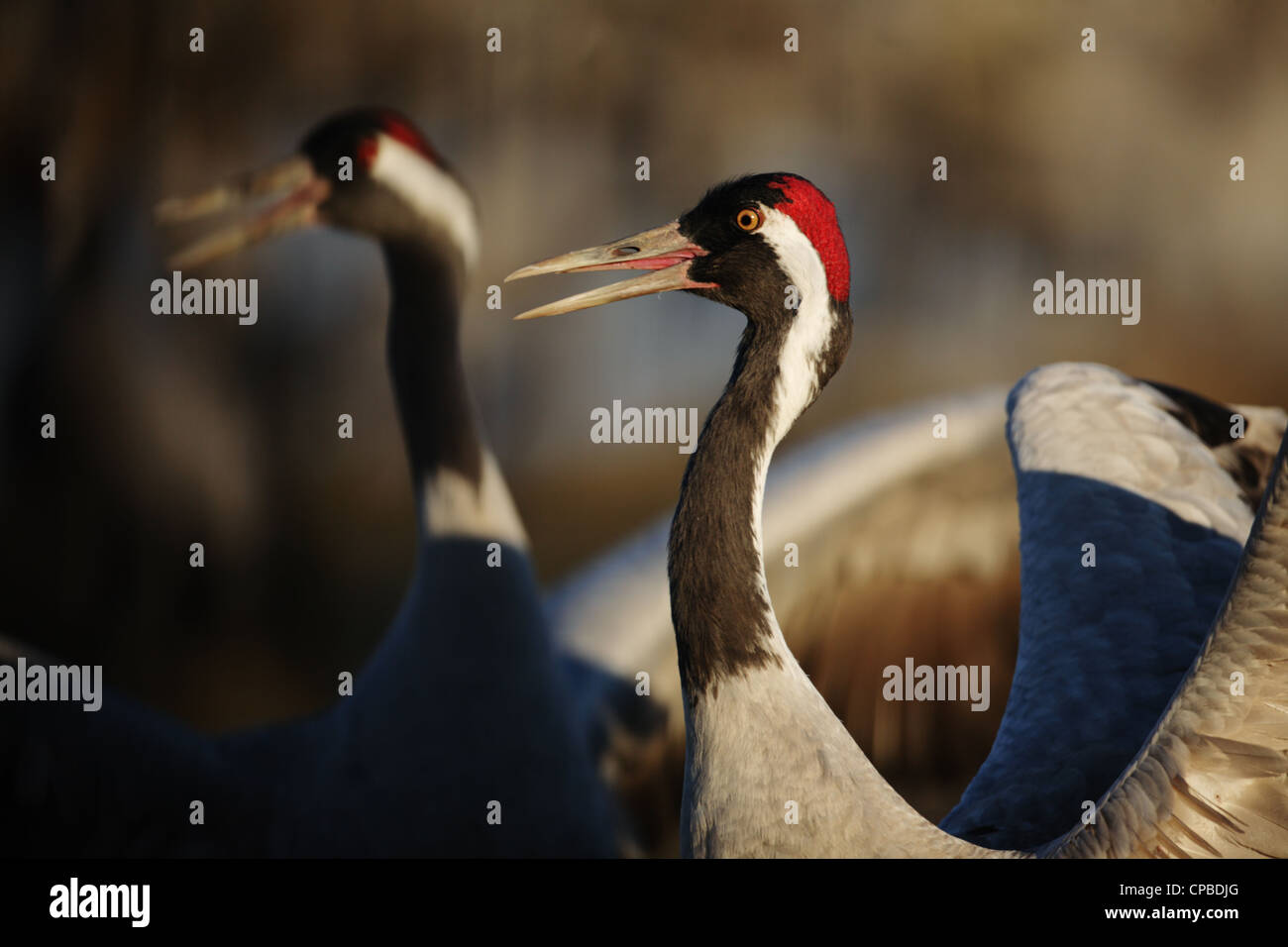 Common Crane (Grus grus) - synchronized calling which is part of the crane dance. - Stock Image