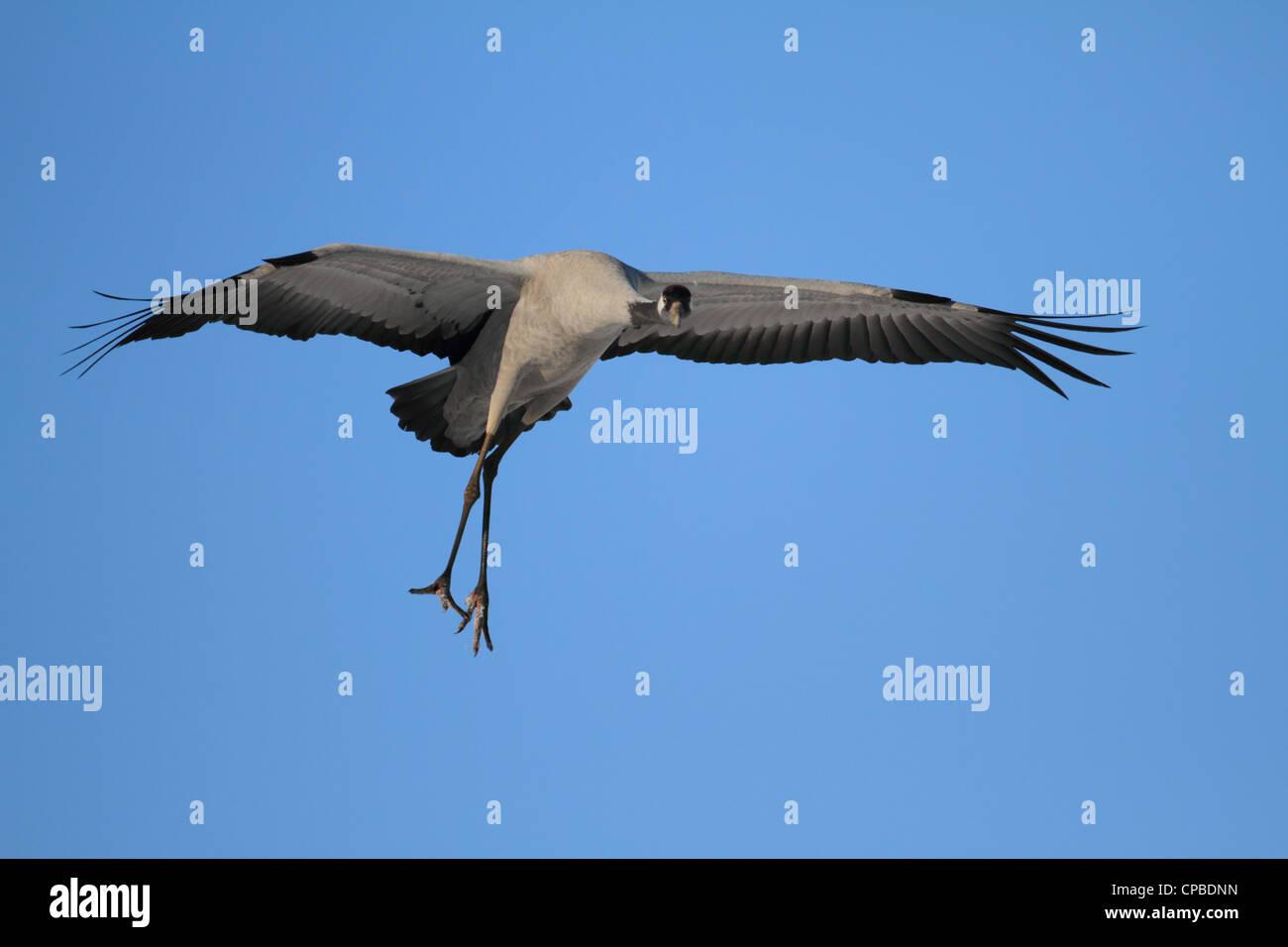 Common Crane (Grus grus) landing Stock Photo