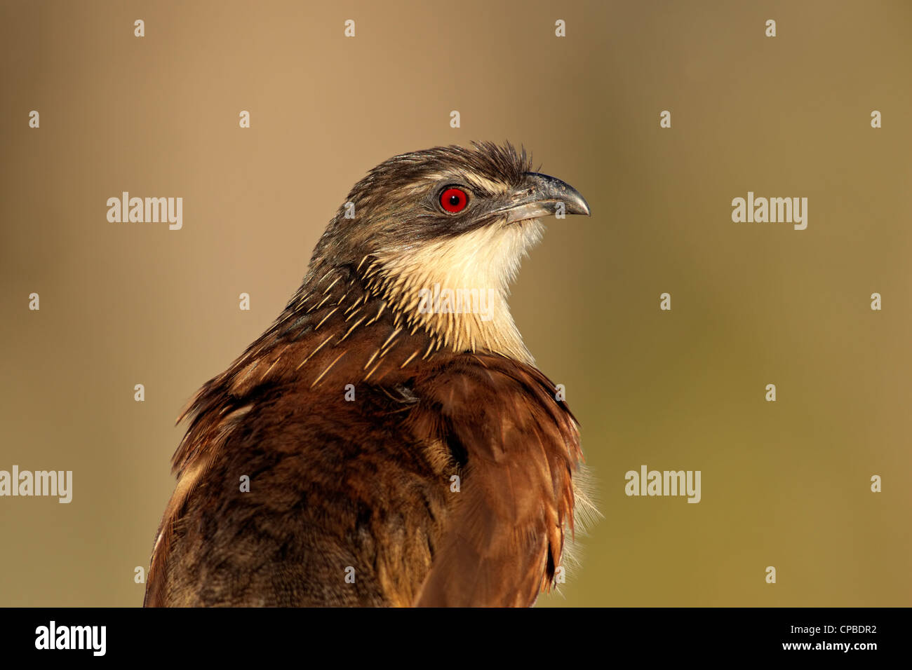 Portrait of a burchell's coucal (Centropus burchellii), South Africa - Stock Image