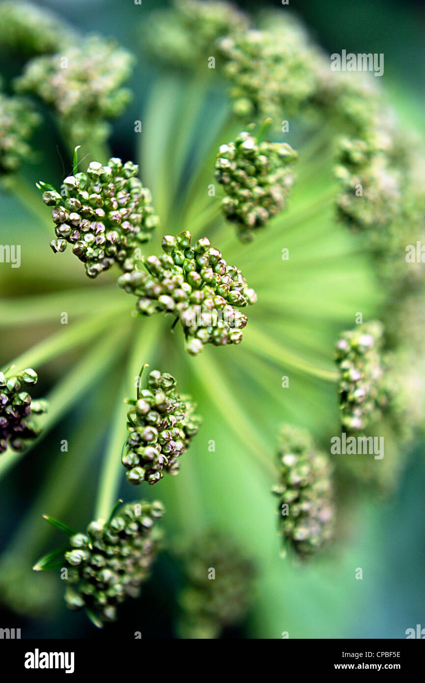 Angelica archangelica plant from above - Stock Image