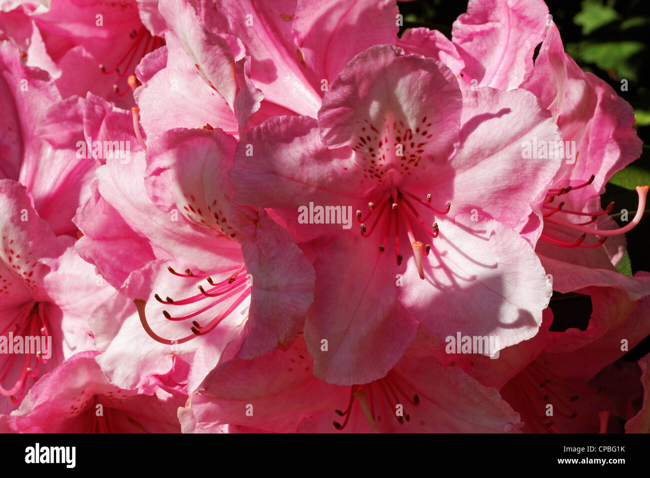 Close up of a pink rhododendron flower Stock Photo