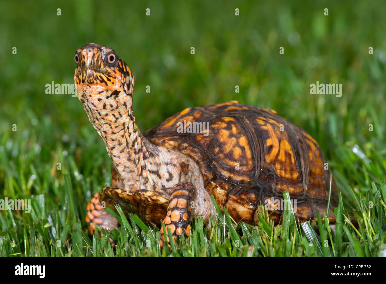 Eastern box turtle (Terrapene carolina) on a backyard lawn (Georgia, USA). - Stock Image