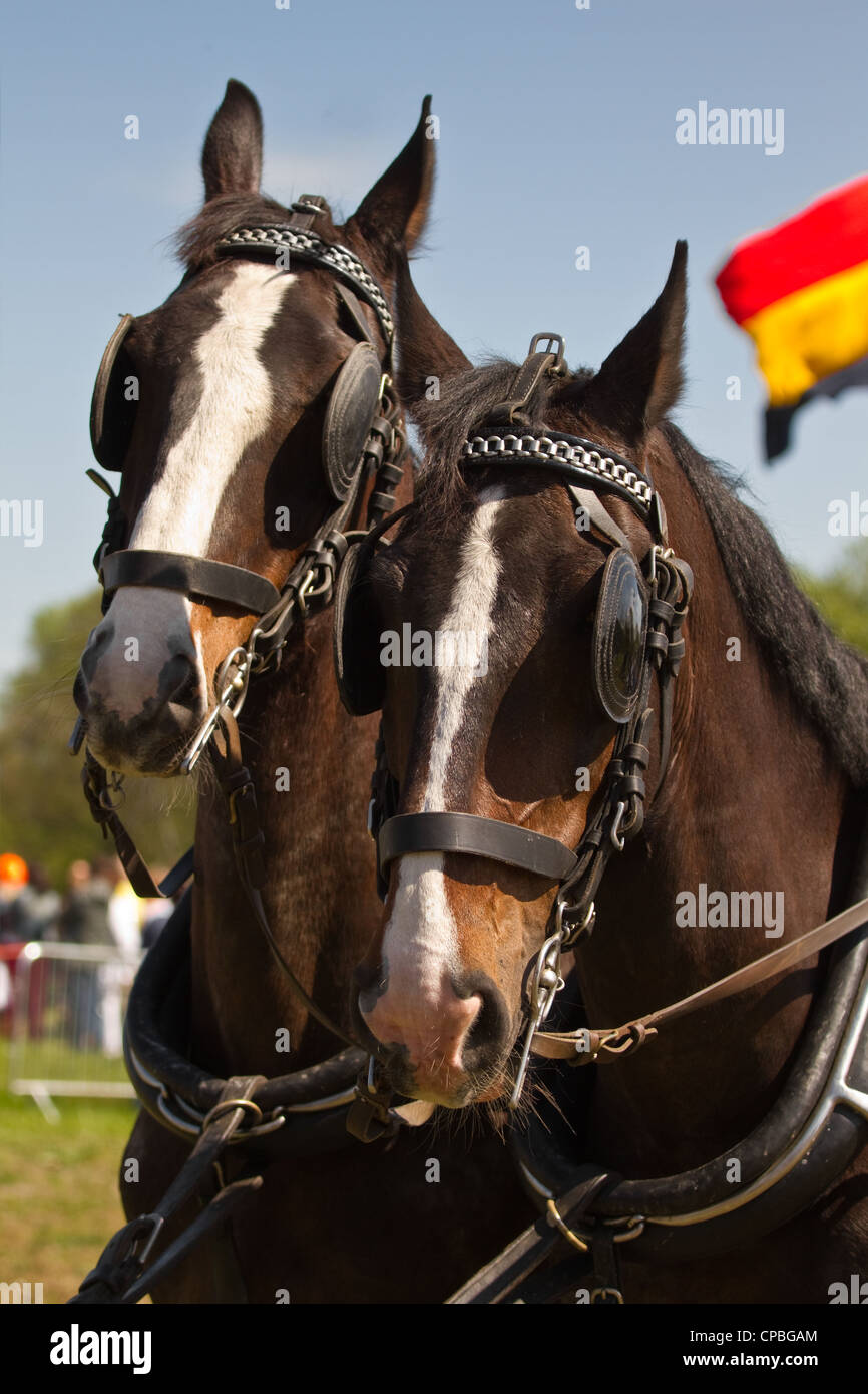 Two dark brown draught-horses with blinkers for couch on sunny day at festival - Stock Image