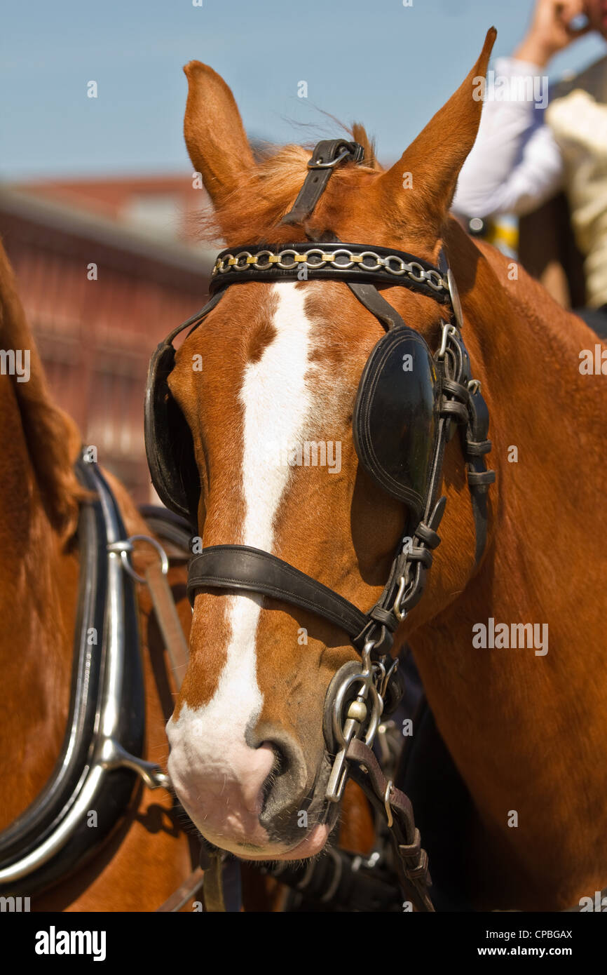 Light brown draught-horse with blinkers for couch on sunny day at festival - Stock Image