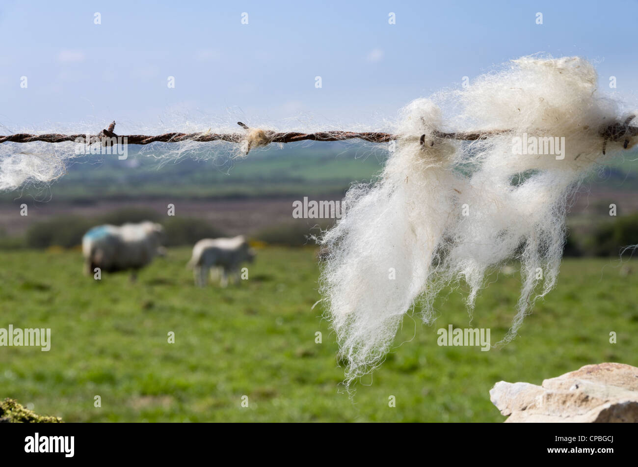 Sheep's wool caught on a barbed wire fence with sheep in the field beyond. UK, Britain - Stock Image