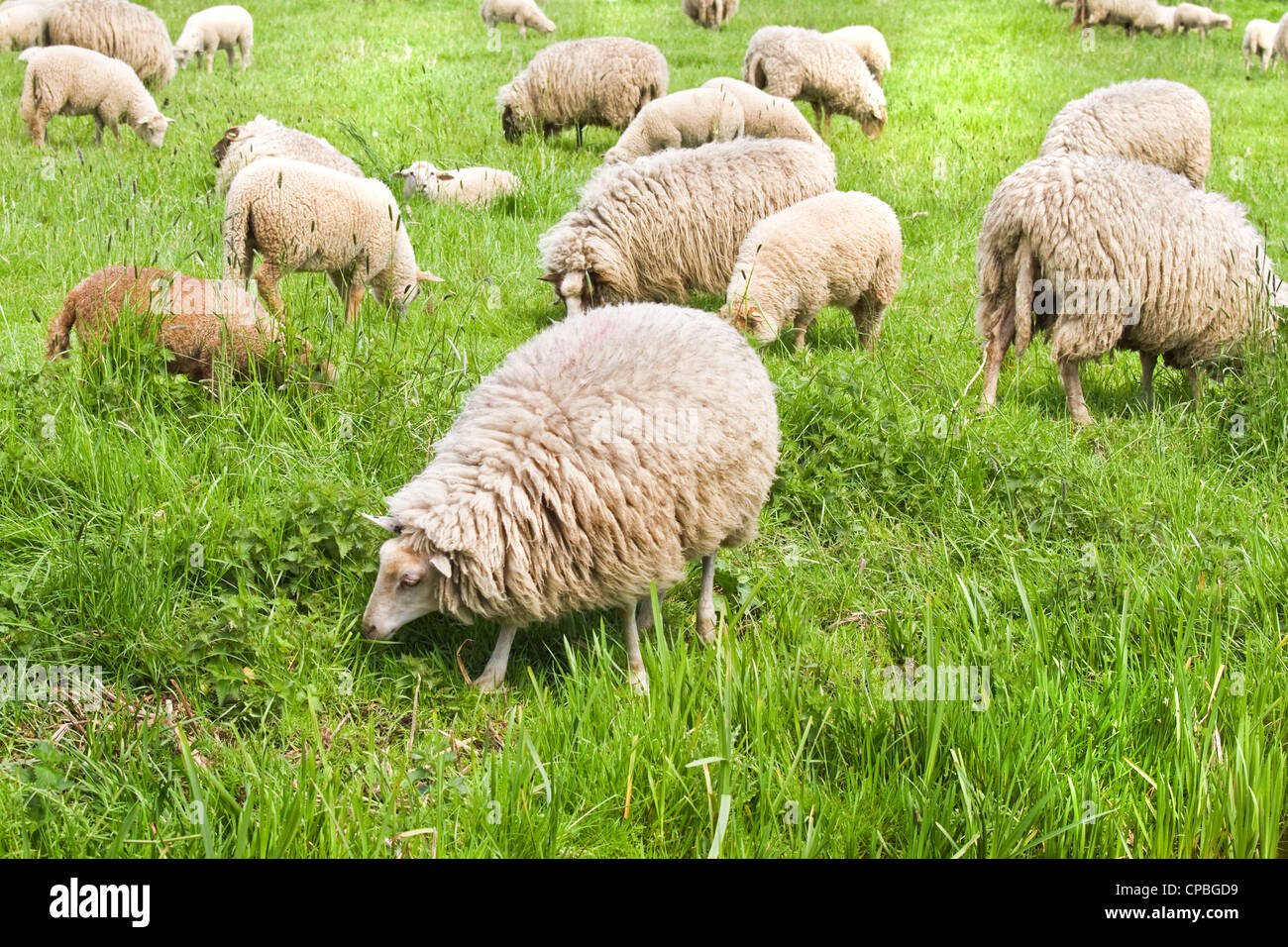 Flock of sheep grazing on sunny day in spring - Stock Image