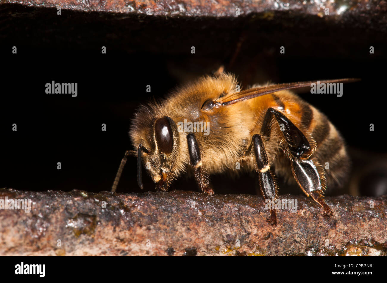 A guard honeybee (Apis mellifera) guarding the entrance to the nest. Crossness Nature Rerserve, Bexley, Kent. July. - Stock Image