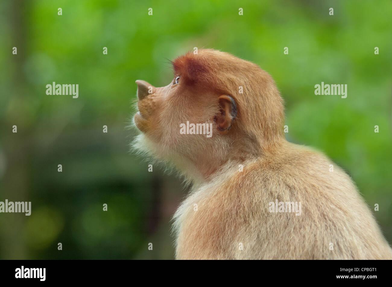 Malaysia, Island of Borneo, Sabah, Kota Kinabalu, Lok Kawi Wildlife Park. Proboscis monkey. - Stock Image