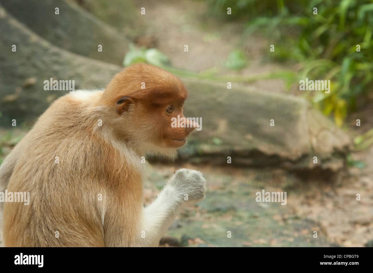 Malaysia, Island of Borneo, Sabah, Kota Kinabalu, Lok Kawi Wildlife Park. Proboscis monkey - Stock Image