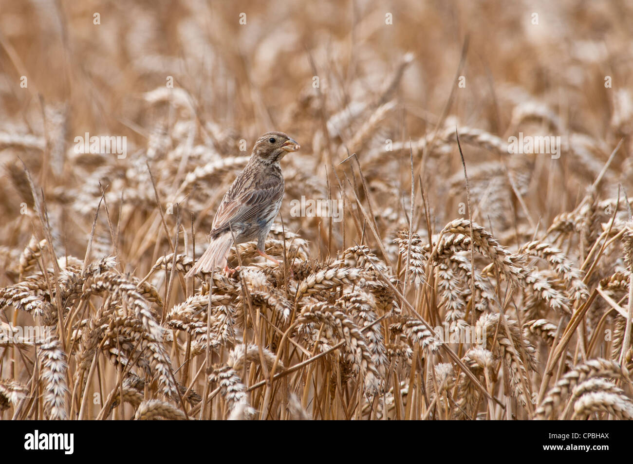 Ripening wheat being plundered by a corn bunting (Millaria calandra) on farmland on the isle of Sheppey, Kent. August. Stock Photo