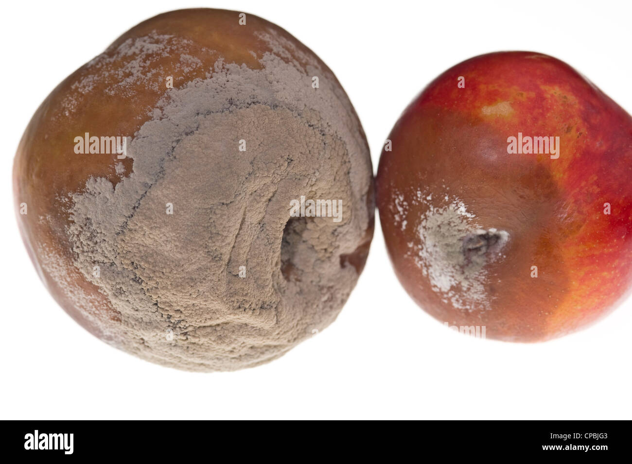 Brown rot symptoms on peach and nectarine - Stock Image