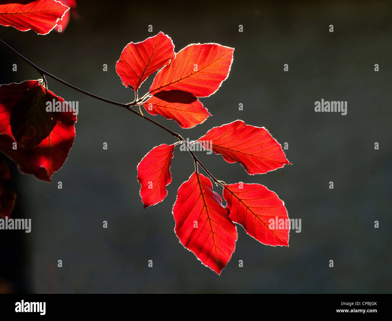 backlit fresh young leaves of a copper beech in Spring in Crosby Ravensworth Cumbria England - Stock Image