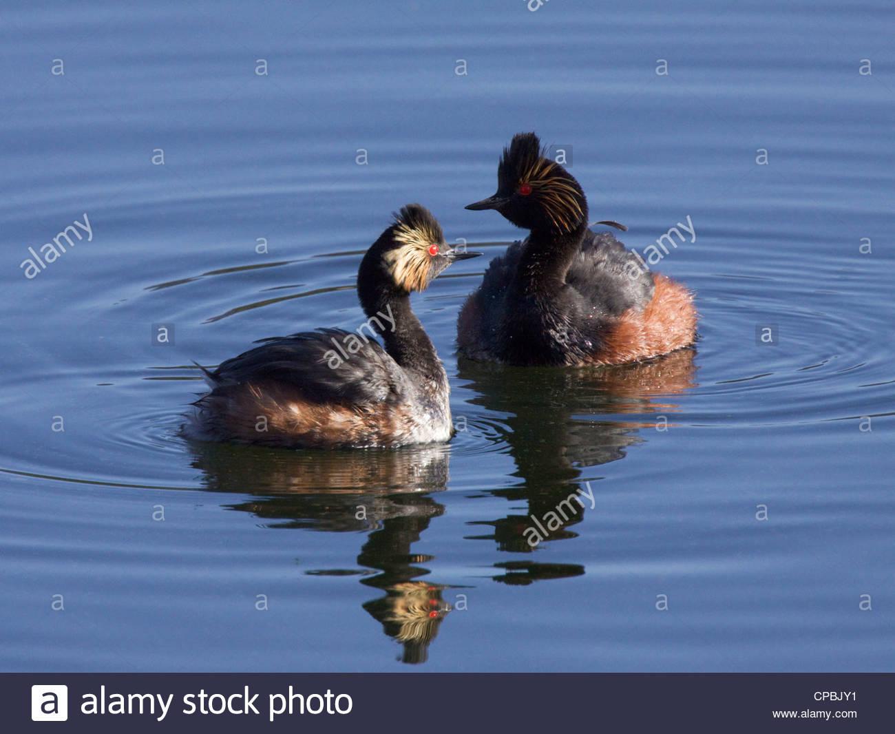 Eared Grebes Podiceps nigricollis pair swimming Arizona - Stock Image