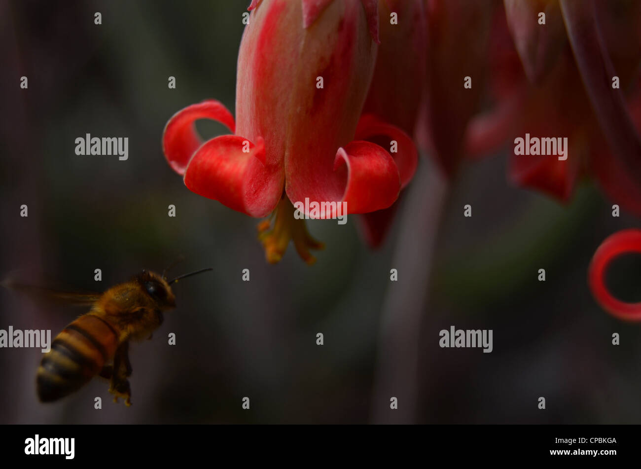 Bee approaching flower - Stock Image