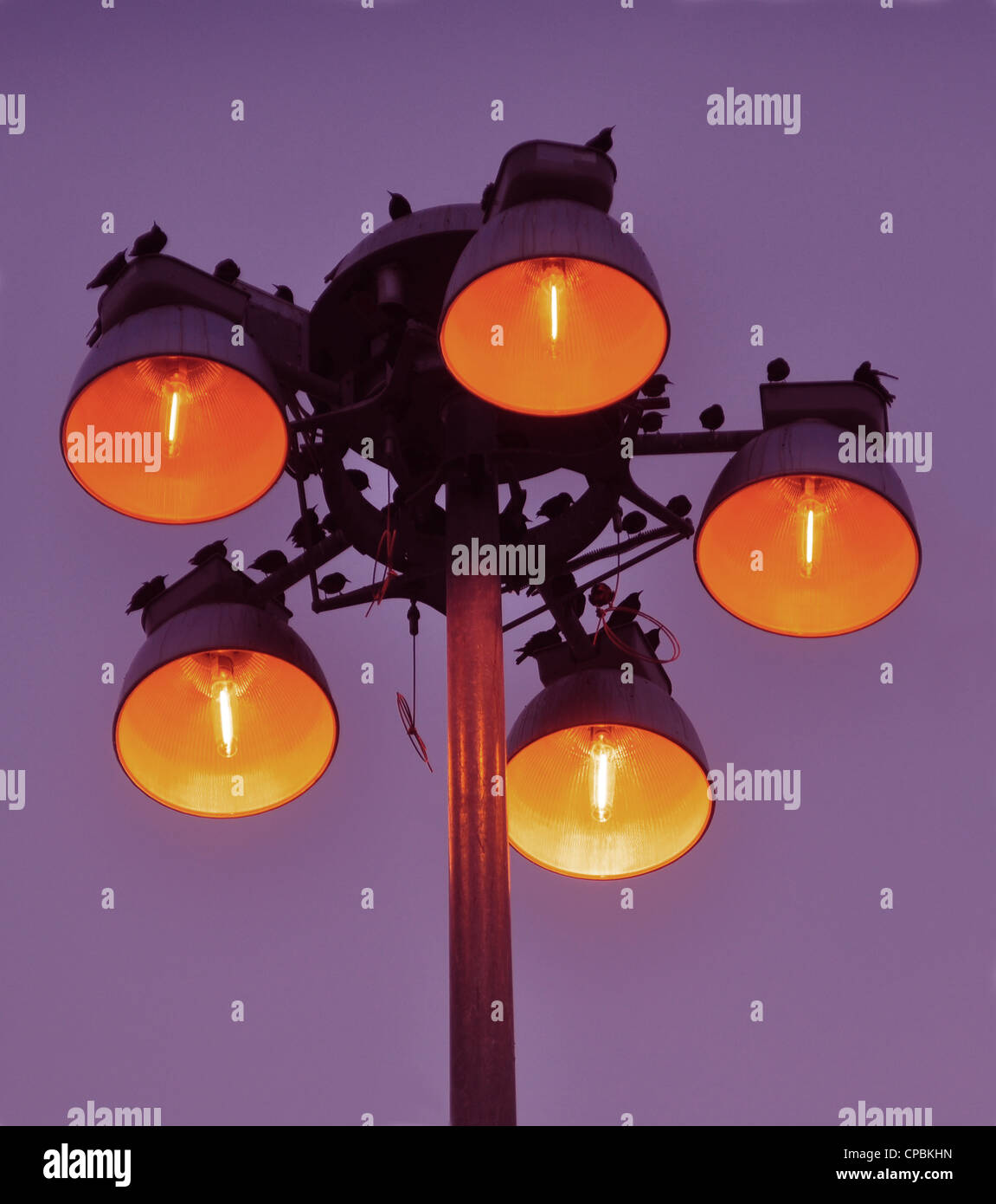 Birds rousting for the night on top of a street light - Stock Image