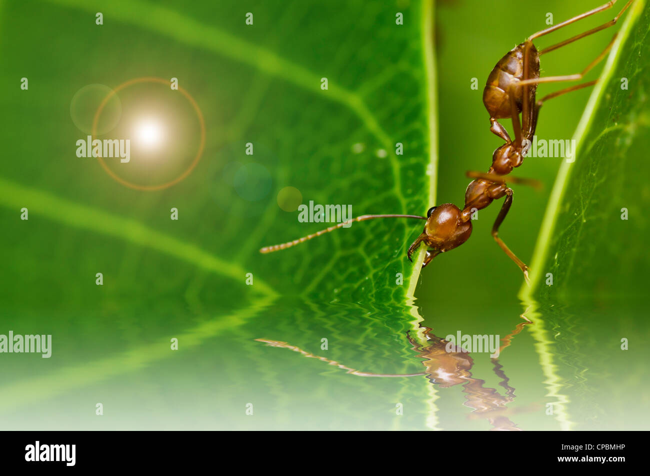 red ant powerful in green nature - Stock Image