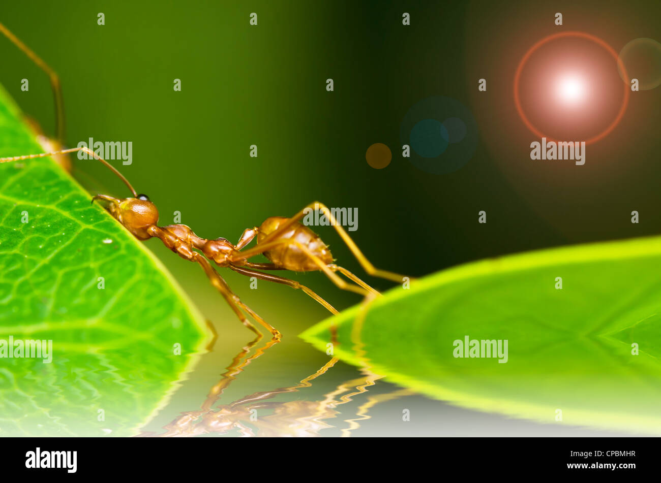 red ant so tired hard work weak - Stock Image
