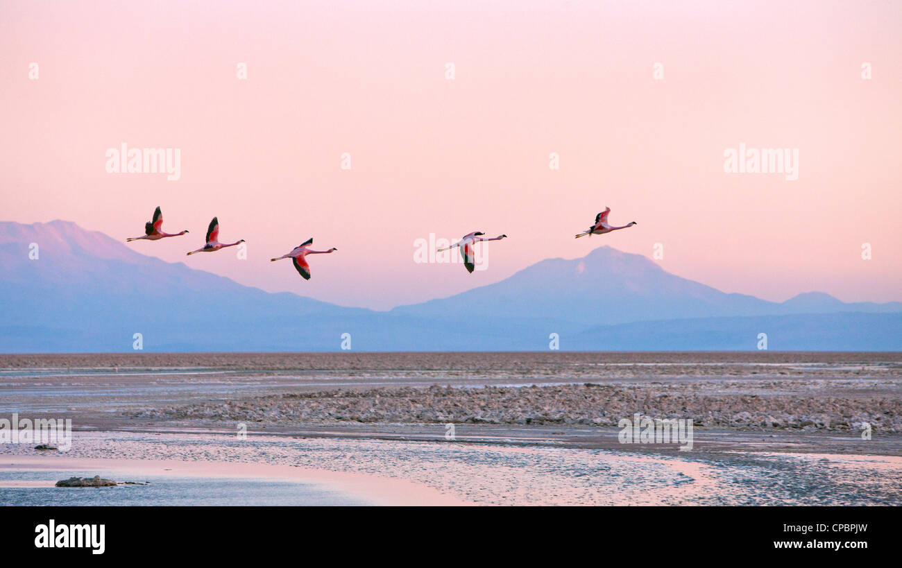 Flamingos flying over the Atacama Desert, Chile. - Stock Image