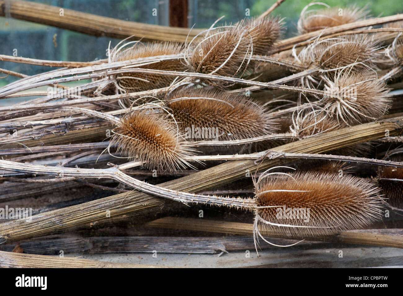 Dipsacus fullonum. Dried teasel plants in a greenhouse - Stock Image