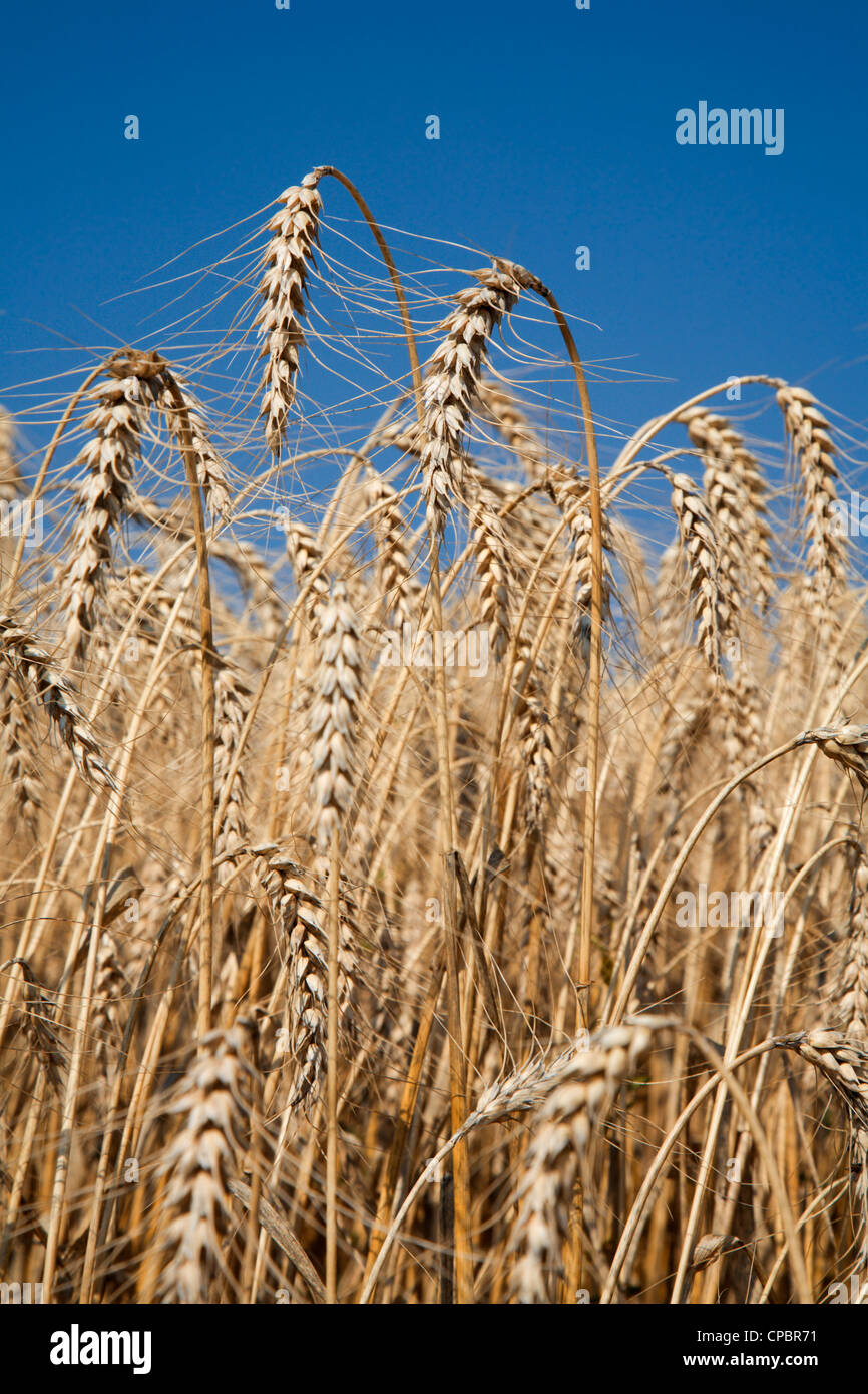 grain for the harvest - Stock Image