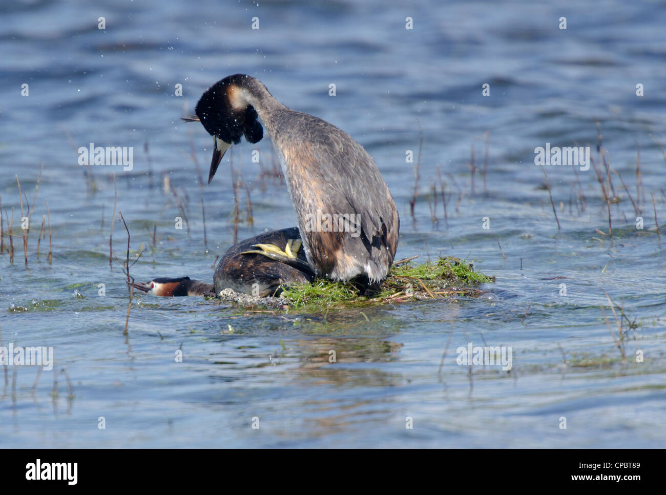 Podiceps cristatus, Pair of Great Crested Grebes mating on nest Stock Photo