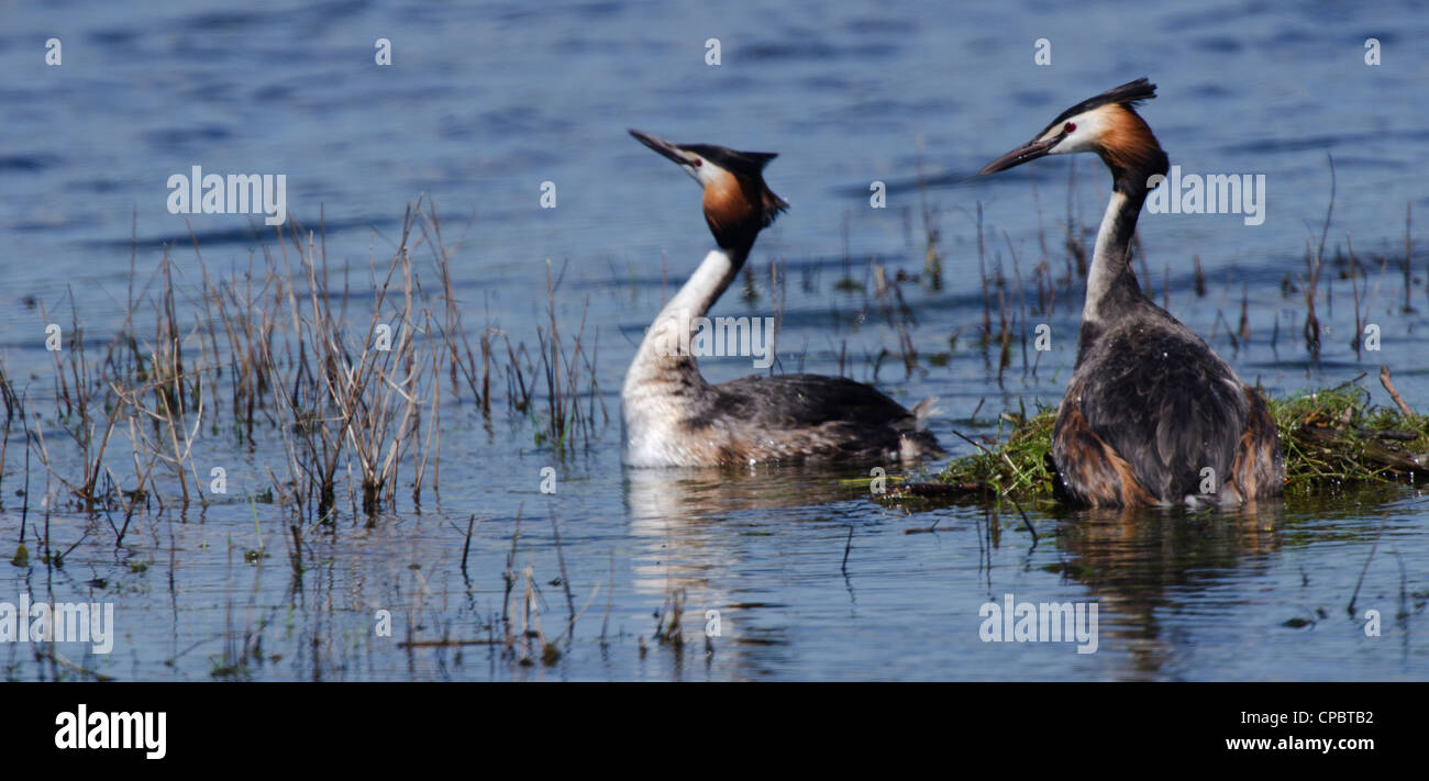 Podiceps cristatus, pair of Great Crested Grebes preparing a nest - Stock Image