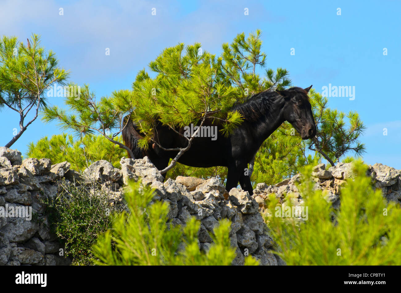 Menorcan horse, a traditional and highly valued breed - Stock Image