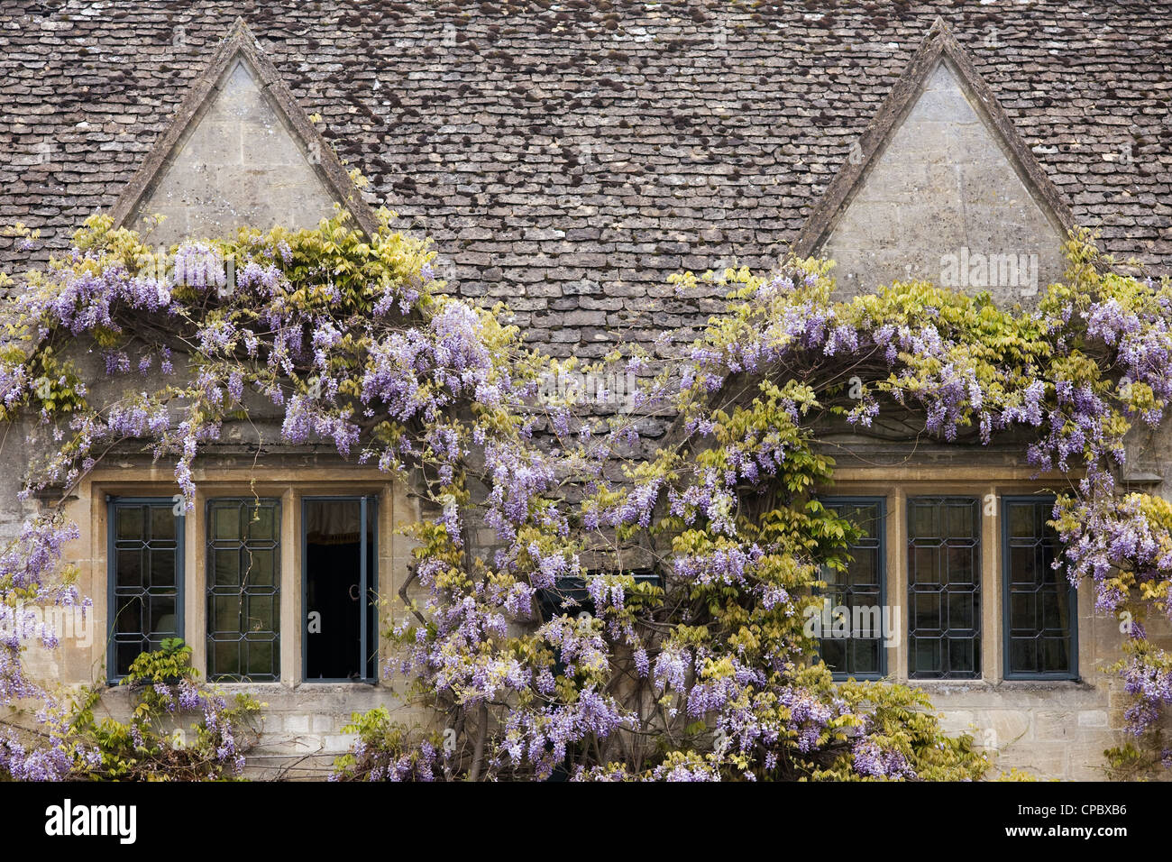 Wisteria surrounding the windows of The Bay Tree Hotel in the Cotswold town of Burford. - Stock Image