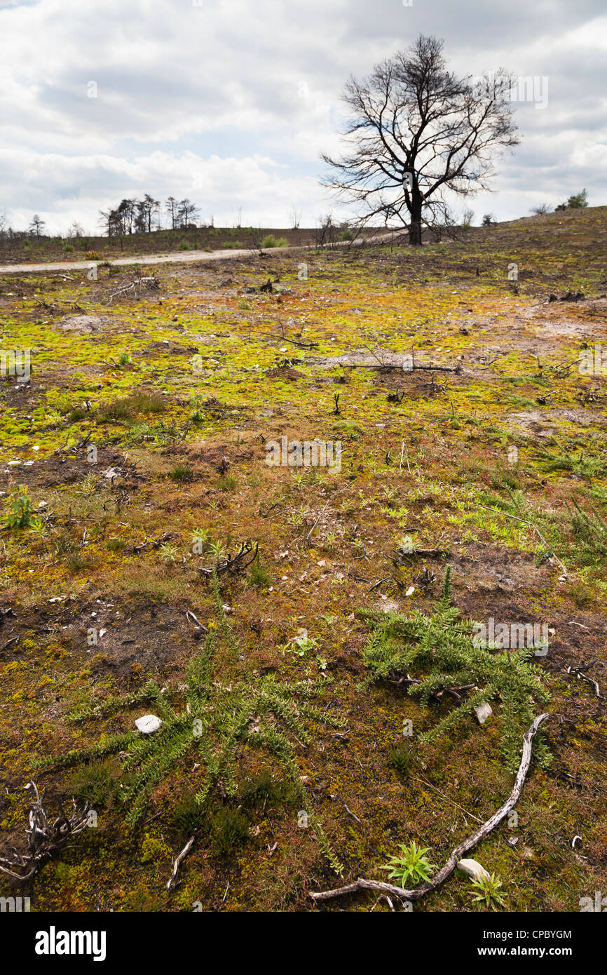 ground covering plant regrowth at site of forest fire at Frensham Little Pond in Surrey Stock Photo