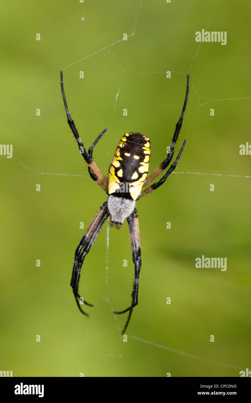 Black and Yellow Argiope (Argiope aurantia) - Female on its web - Stock Image