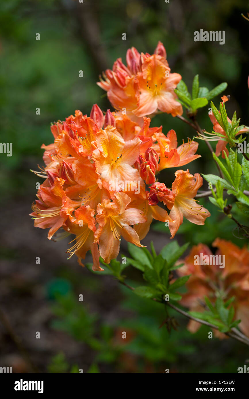 A bright orange rhododendron flowering in a Wiltshire garden in spring - Stock Image