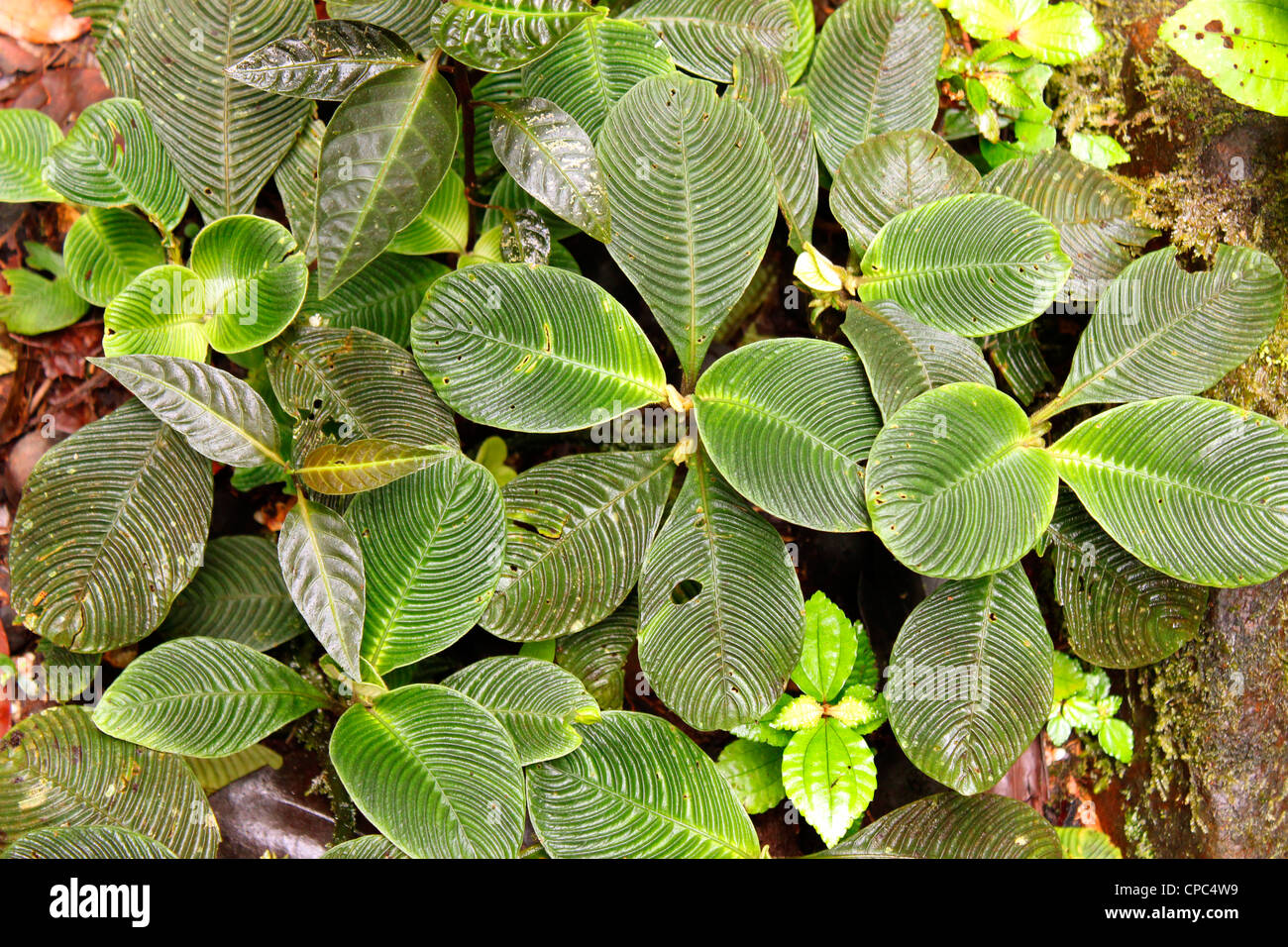 Plants With Ridged Leaves On The Rainforest Floor In