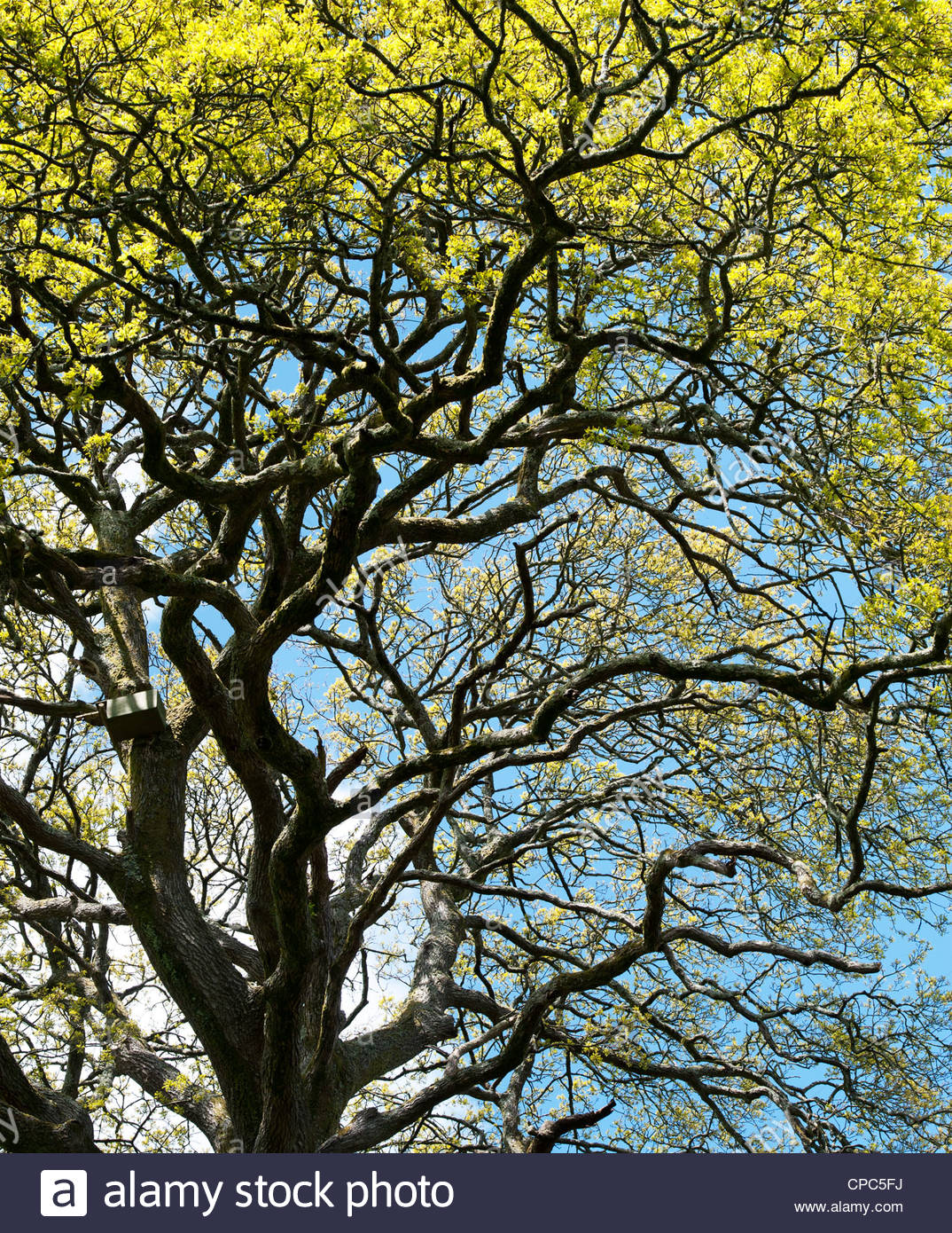 Quercus. Oak trees in english countryside - Stock Image