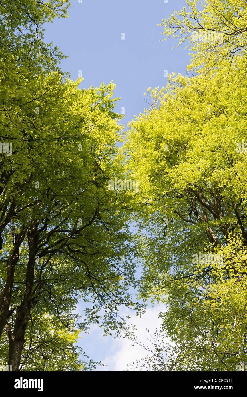 Fagus sylvatica. Beech trees in Devon countryside. England - Stock Image