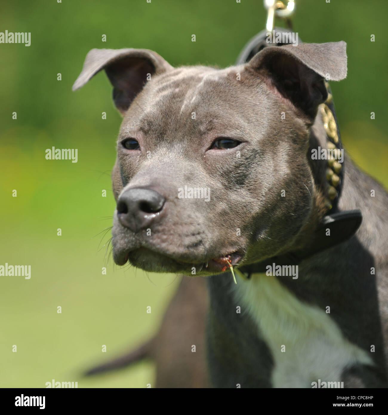 blue staffordshire bull terrier - Stock Image