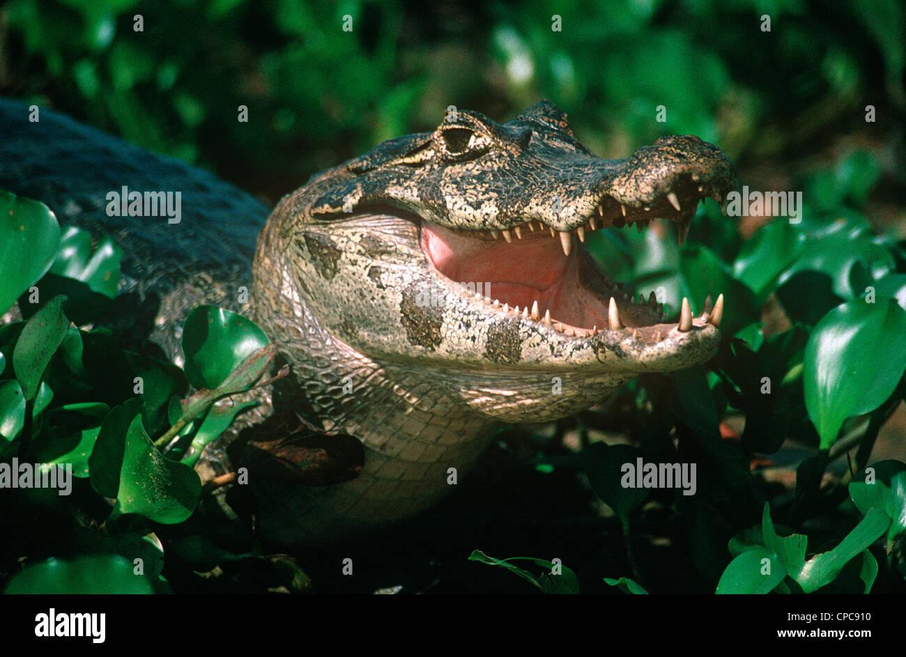 Yacare Caiman (Caiman yacare: Alligatoridae) Pantanal Brazil - Stock Image
